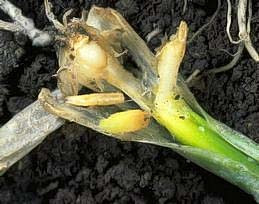 Onion maggot feeding in onion seedling
