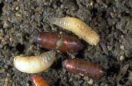 Larvae and pupae