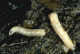 Cabbage maggot larvae