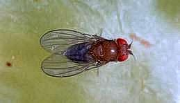 Fruit fly adult