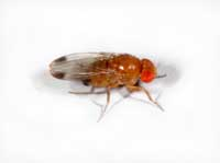 Adult male spotted wing drosophila, Drosophila suzukii, has a dark spot on each wing tip.