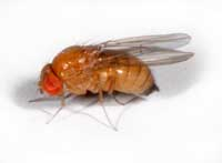 Adult female spotted wing drosophila, Drosophila suzukii.
