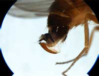 The spotted wing drosophila�s ovipositor is large and serrated.