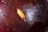 Spotted wing drosophila pupating on the surface of a cherry.