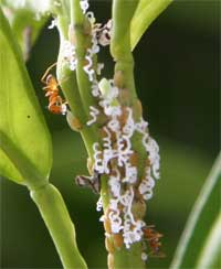 Asian citrus psyllid nymphs producing waxy tubules and being tended by ants.