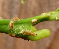 Asian citrus psyllid mummies caused by Tamarixia radiata parasitism.