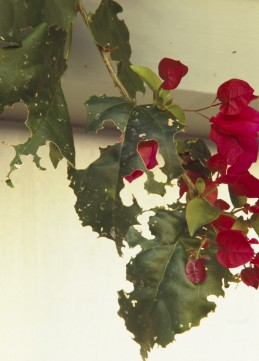 Damage to Bougainvillea leaves