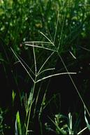 Large crabgrass