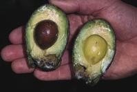 Avocado fruit showing dark decay with a well-defined margin, damage from stem end rot, caused by Dothiorella gregaria and Alternaria spp.