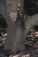 White exudate and dark bark on an avocado trunk with Dothiorella canker, caused by Dothiorella gregaria.