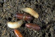 Larva (top), prepupa (left), and pupae (center) of seedcorn maggot, Delia platura.