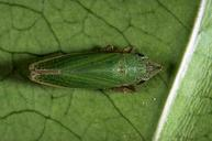 Adult green sharpshooter, Draeculacephala minerva.
