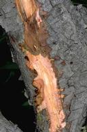 Red-streaked wood underneath the bark in a fire blight canker.