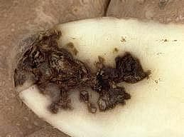 Erwinia  in potato tuber causing blackleg