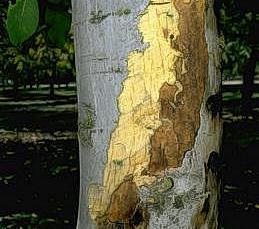 Large superficial canker