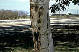Brownish round spots on trunk