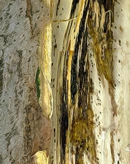 Black streaks and pits of deep bark canker