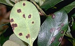 Entomosporium leaf spot