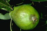 Damage caused by pear rust mite.