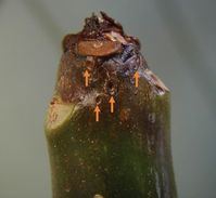 Tip dieback of plumeria in spring caused by sixspotted spider mites, Eotetranychus sexmaculatus. Arrows note craters that appear first; white specks are mites.