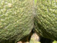 Yuma spider mite damage