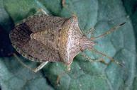Consperse stink bug.