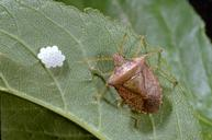 Consperse stink bug adult
