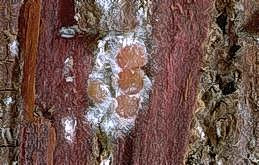 Cypress bark mealybug adult