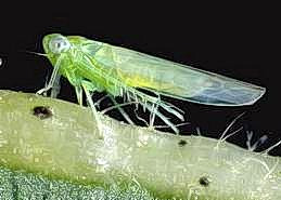 An adult leafhopper