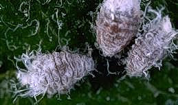 Woolly apple aphid adults