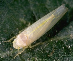 Adult rose leafhopper