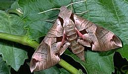 Sphinx moth adult