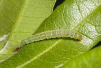 Light brown apple moth larva
