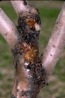 American plum borer larvae boring in scaffold crotches of young trees.