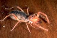 Figure 1. Adult windscorpion.