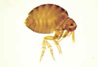 Figure 2. Sticktight flea.
