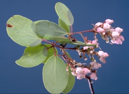 flowers and foliage of madrone