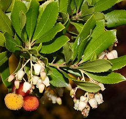 Leaves, flowers, and fruit of strawberry tree