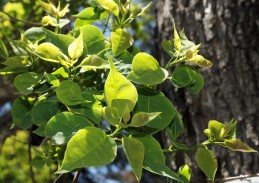 Tallow tree leaves