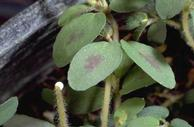 Spotted spurge with red leaf spots and a broken stem exuding milky sap.