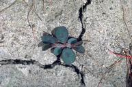 Spotted spurge seedling.