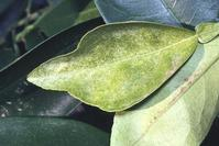 Stippling and bleaching of a citrus leaf caused by adult Texas citrus mite, Eutetranychus banksi.