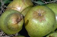 Russeting on these pears is typical eriophyid mite damage.