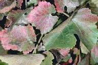 Injury to Pinot Noir grape foliage caused by Willamette spider mite, Eotetranychus willamettei.