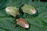 Common stinkbugs: (clockwise from left) southern green stink bug, Acrosternum hilare; redshouldered stink bug, Thyanta pallidovirens; and consperse stink bug, Euschistus conspersus.