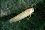 Adult rose leafhopper.