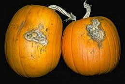 Pumpkins infected with Fusarium solani