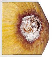 Lesions on casaba caused by the Fusarium crown and foot rot pathogen, Fusarium solani f. sp. cucurbitae.