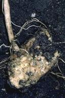Potato seed piece decay.