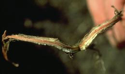Discoloration of root tissue